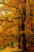 Autumn tree in the forest — Stock Photo