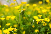Yellow buttercup flowers — Stock Photo