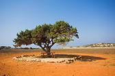 Alone tree in stone desert — Stock Photo