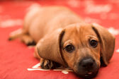 Dachshund puppy — Stock Photo
