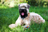 Irish soft coated wheaten terrier — Stock Photo