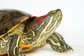 Pond terrapin. — Stock Photo