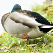 Wild duck — Stock Photo #1200553