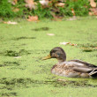 Wild duck — Stock Photo #1209070