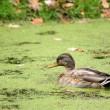 Wild duck — Stock Photo
