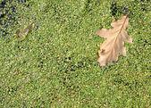 Duckweed background — Stock Photo