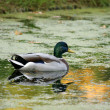 Wild duck — Stock Photo #1219988
