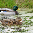 wild ducks — Stock Photo #1221951