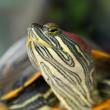 Pond terrapin — Stock Photo