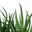 Agave cactus — Stock Photo