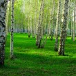 Birch wood in Russia — Stock Photo #1200403