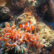 Clown fish — Stock Photo #1201241