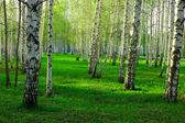 Birch wood in Russia — Stock Photo
