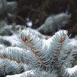 Winter fir sprig — Stock Photo