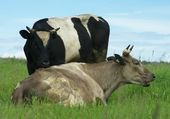 Bull and cow — Stock Photo