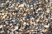 Cockle-shells beach — Stock Photo