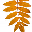 Rowan tree leaves — Stock Photo