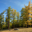 Stock Photo: Autumnal larch forest