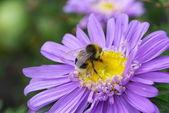 The bee drinks nectar — Stock Photo