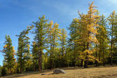Autumnal larch forest — Stock Photo
