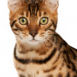 Stock Photo: Bengal cat