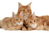 Gatos de coon de maine — Foto Stock