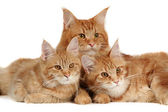 Gatos de maine coon — Foto de Stock