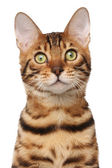 Bengal cat — Stock Photo