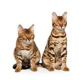 Koty bengalskie — Zdjęcie stockowe