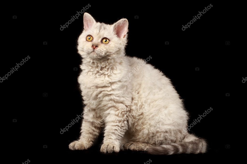 Selkirk rex kitten on black background   Stock Photo #1230442