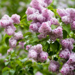 Lilac — Stock Photo #1205277