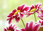 Beautiful garden flowers — Stock Photo