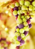 Beautiful grape background — Stock Photo