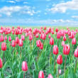Royalty-Free Stock Photo: Meadow of tulips