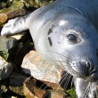Seal — Stock Photo #1232567