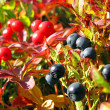 Bilberries — Stock Photo #1234125