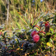 Cowberries - Stock Photo