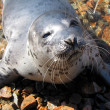 Seal — Stock Photo #1238523