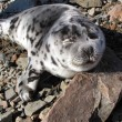 Young Seal — Stockfoto #1238587