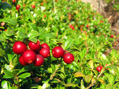 Bright berries cowberries on a sunny autumn day — Stock Photo