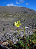 Flower in the northern mountains — Stock Photo