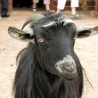 Foto Stock: Bedouin goat close up