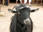 Bedouin goat close up — Stock Photo