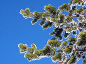 Pine tree branches — Foto de Stock