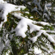 Stock Photo: Spruce tree branch