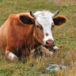 Lying cow — Stock Photo