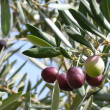 Stock Photo: Olive yield