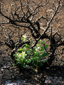 New sprouts are growing out of burned tree. Symbol of rebirth. — Stock Photo