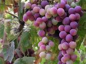 Grappolo d'uva — Foto Stock