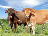 Cattle on pasture — Stock Photo